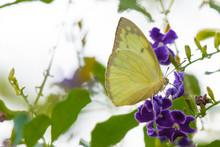 Yellow Butterfly On Purple Flower In The Garden.