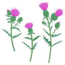 Purple Thistle Flowers Isolate...
