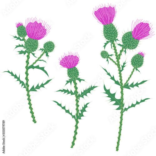 Purple Thistle Flowers Isolated on White Fototapeta