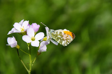 A Male Orange Tip Butterfly (A...
