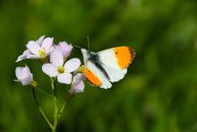 A Male Orange Tip Butterfly (A...
