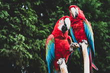 Red Scarlet Macaw On Branch, C...