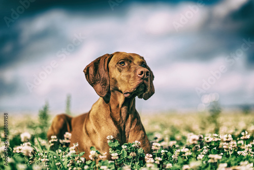 Leinwand Poster Hunting dog in a summer meadow