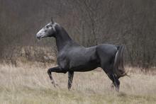 A Beautiful Dark Gray Horse Ru...