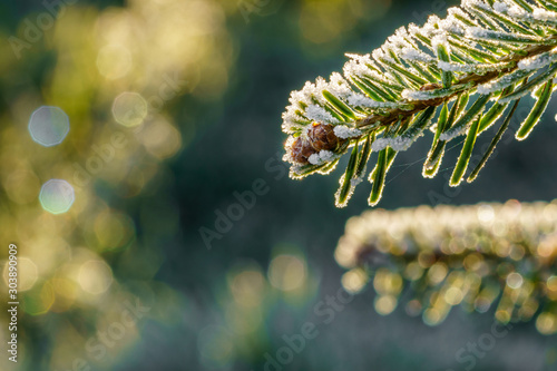 A fir branch with small fir cones covered with white ice crystals of hoar frost is back lit by the morning sun in winter Obraz na płótnie