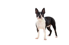 Portrait In Studio Of A Cute Boston Terrier