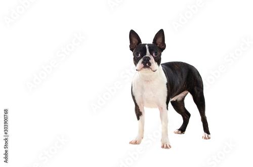 Photographie Portrait in Studio of a cute boston terrier