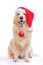 Full Length Of Golden Retriever Wearing Santa Hat
