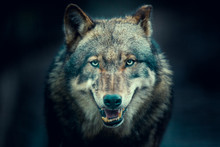 Scary Dark Gray Wolf (Canis Lu...