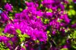 Leinwandbild Motiv Pink Bougainvillea spectabilis plant showing flowers and leaves, Kenya, East Africa