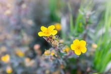 Macro Closeup Of Two Yellow Pr...