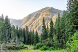 Fototapeta  - Coniferous pine trees on trail to Ice lake in Silverton, Colorado in August 2019 summer morning sunrise green valley and peak