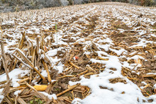 Harvested Corn Field In Fall Scenery