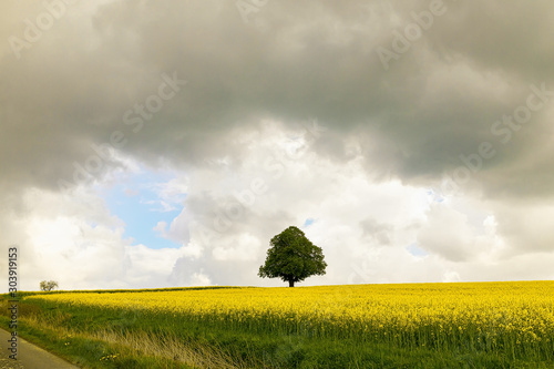 Photo a lonely green tree in the midst of a bright yellow rape field under a cloudy sk
