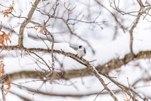 White-breasted Nuthatch Bird O...