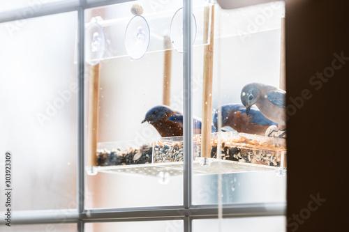 Fotografia, Obraz Three blue bluebirds bird sitting perching on plastic window feeder perch eating