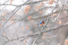 One Colorful Blue Male Bluebird Bird Perching Far On Oak Tree During Winter Spring Autumn In Virginia With Vibrant Color