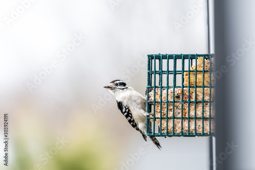 Obraz na plátne Downy woodpecker bird with missing leg disabled handicapped animal perching on h