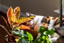 Calico Cat Sleeping In Sunligh...