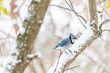 Single blue jay Cyanocitta cristata bird perching on tree branch during winter weather snow in Virginia