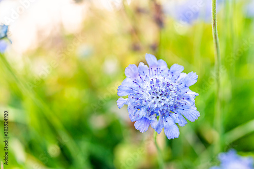 Macro closeup of one Scabiosa columbaria butterfly blue pincushion flower in Colorado garden with blurry background showing texture of petals