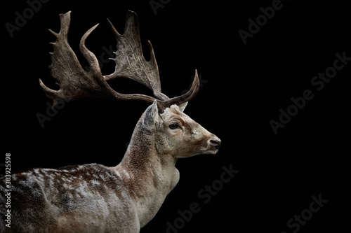 Fototapeta Close-up side view of a male fallow deer (Dama dama) looking right and isolated on black background obraz