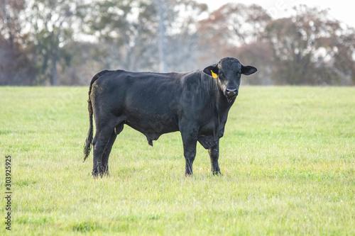 Young black Angus bull Canvas Print