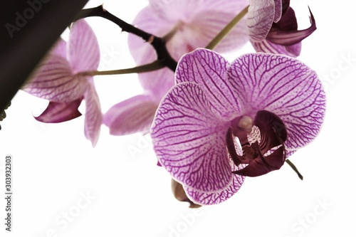 orchid on the white background - 303932303