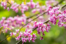 Close-up Of Purple Spring Blossom Of Eastern Redbud, Or Eastern Redbud Cercis Canadensis N Sunny Day. Selective Focus. Nature Concept For Design
