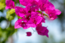 Dark Purple Bougainvillea Flowers In The Garden