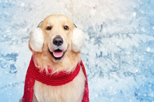 Golder Retriever In A Red Scarf Against Snowy Landscape Background