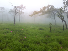 Trees, Meadow And Siam Tulip With Fog In Morning At Pa Hin Ngam National Park, Siam Tulip Field, Chaiyaphum, Thailand.