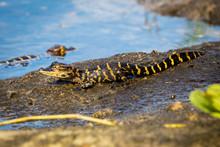 Baby Alligator On A Muddy Bank...