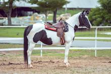 American Paint Horse In A Penn...