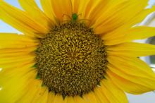 Green Spider On Sunflower