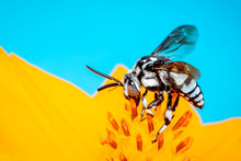 Image Of Neon Cuckoo Bee (Thyreus Nitidulus) On Yellow Flower Pollen Collects Nectar On Blue Background With Space Blur Background For Text.. Insect. Animal.