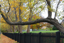 Trunk Of An Old Tree Growing Sideways Out Over A Fence, Its Branches Growing Straight Up: Autumn.