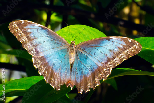 Morpho, Blue (Morpho helenor) butterfly  in Aruba Canvas-taulu