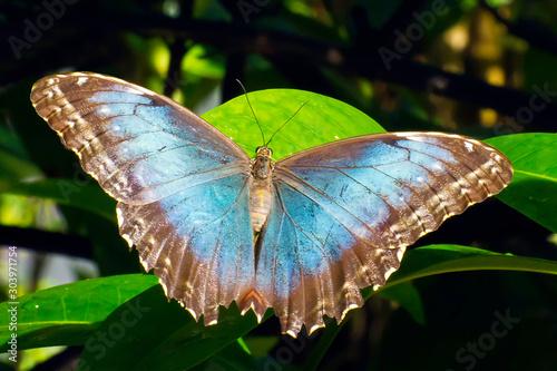 Fotografia, Obraz Morpho, Blue (Morpho helenor) butterfly  in Aruba