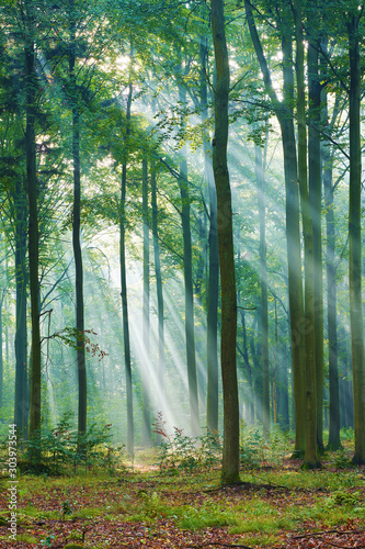 Okleiny na drzwi - Lasy - Drzewa  beautiful-morning-in-the-forest