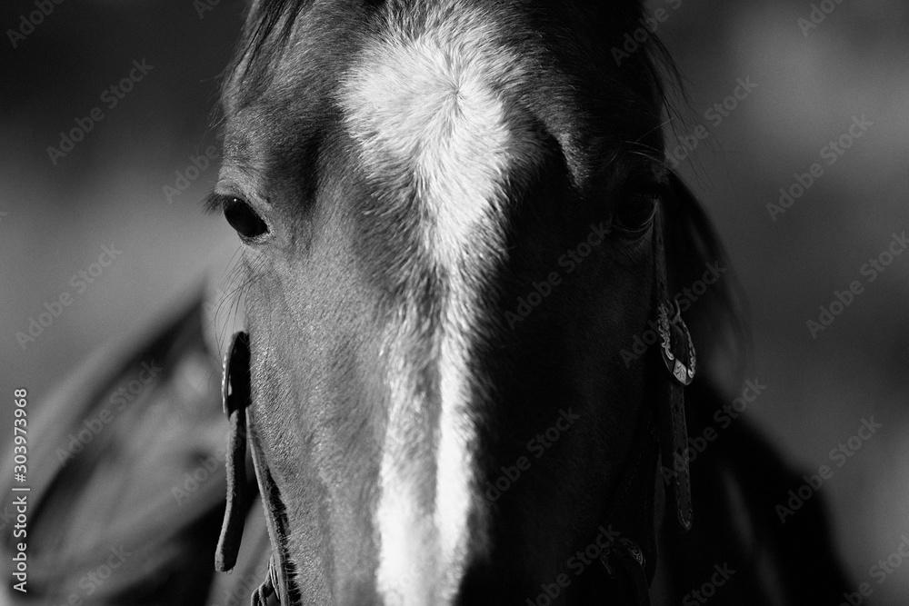 Fototapeta Koń w czerni i bieli - obraz na płótnie