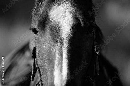 Obraz Koń w czerni i bieli - fototapety do salonu
