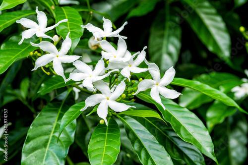 Photographie Close up of white Sampaguita Jasmine or Arabian Jasmine flower blossom in flower garden (Jasminum sambac (L