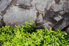 Green Bush Against A Rock Wall