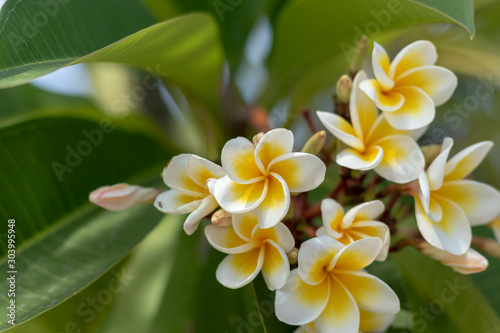 Plumeria white and yellow flowers in the garden