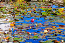 Beautiful Garden Pond With Blooming White And Pink Water Lilies