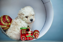 Puppy Portrait New Year Toy Bo...
