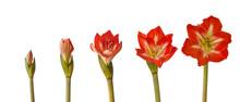 """Bloom Amaryllis Hippeastrum  """"..."""