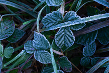 Frost On Brambles And On Grass