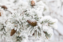 Pineapple On Snow And Ice Covered Tree Branch